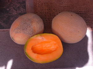 Edisto Cantelope, locally adapted and grown with organic methods