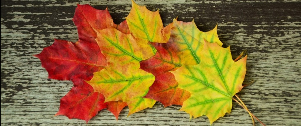 Four red, yellow and green maple leaves
