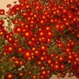 Chrysanthemum-006
