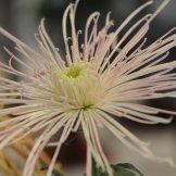 Chrysanthemum-007
