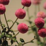 Chrysanthemum-021