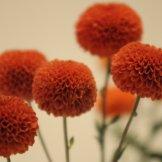 Chrysanthemum-022
