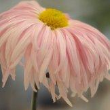 Chrysanthemum-028
