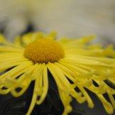 Chrysanthemum-029