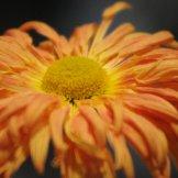 Chrysanthemum-030