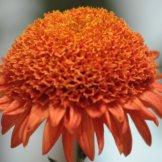 Chrysanthemum-034
