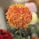 Chrysanthemum-038