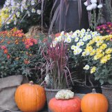 Chrysanthemum-056