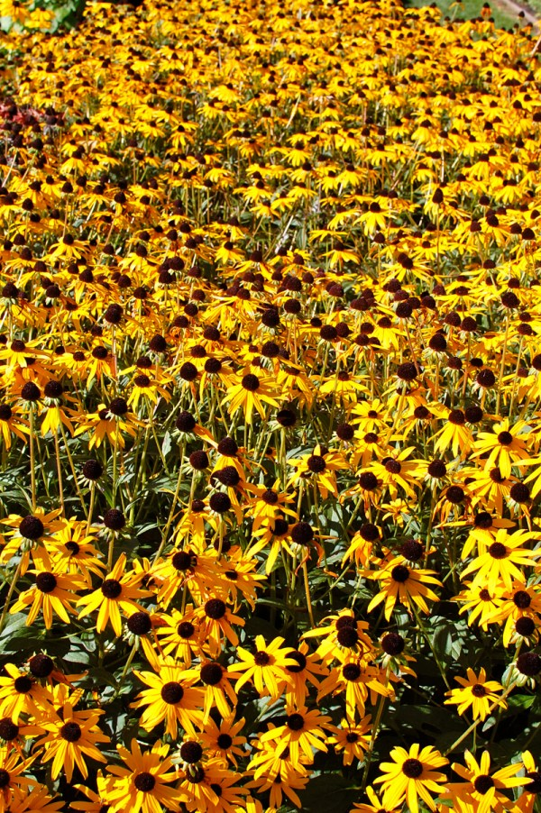 new england sunflower field