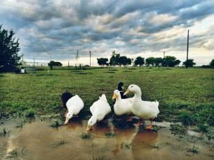 Rain = Happy Ducks! ;)