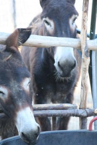 Anes de Castelbuono. Crédit photo : Salvo Sidoti