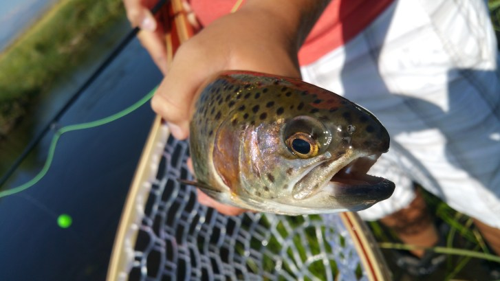 Hey youngster catches a fish fly fishing on the upper Owens River near Mammoth Lakes