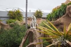 Лоро-парк: белый тигр на дереве