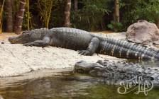 Лоро-парк: крокодилы отдыхают в вольере
