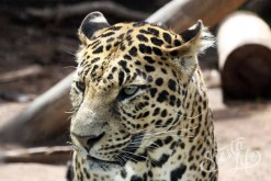Ягуар в Джангл парке на Тенерифе