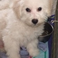 Available Bichon Male Puppy