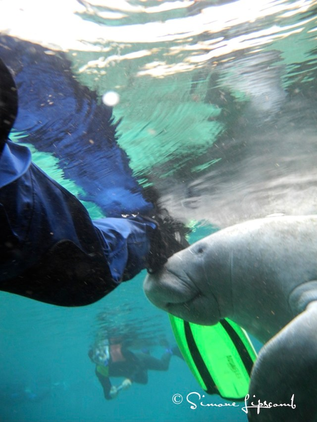 Self-portrait of my leg and fin as a young manatee plays with my drysuit in a Florida spring