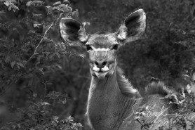 Kudu South Africa Sediba Lodge Welgevonden Safari Simon Goodacre Photography Black and White