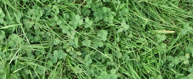 3 leaf clovers