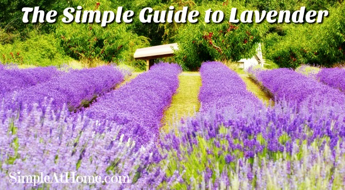The Simple Guide to Lavender