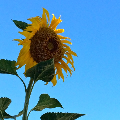 The Sunflower - Simple Sojourns