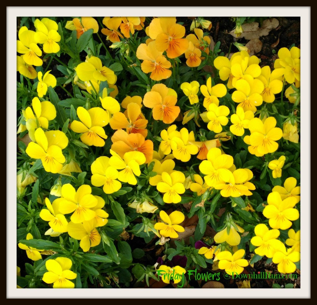 Flower Fridays yellow pansy