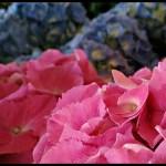 Friday Flowers – Hydrangeas