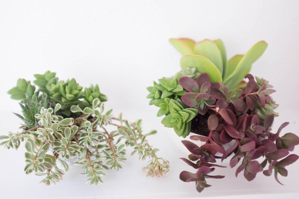 How to plant a succulent garden in a bowl- final arrangements