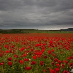 Falmer Poppies
