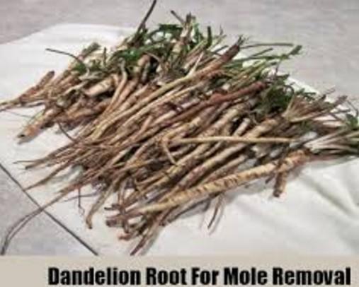 dandelion To Get Rid Of Moles