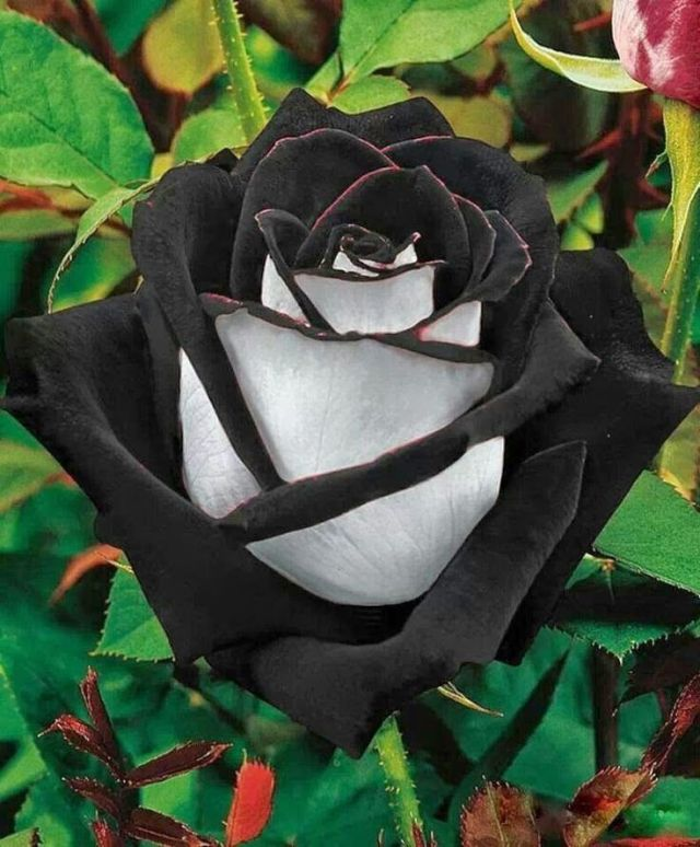rose flower in black wallpaper