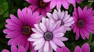 pink flower hd wallpaper