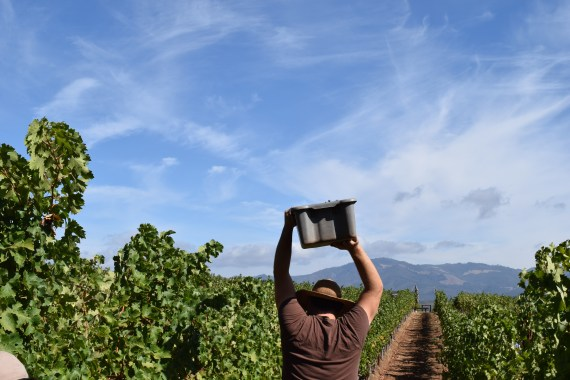 Harvest On Mountain Vineyards of the West Coast