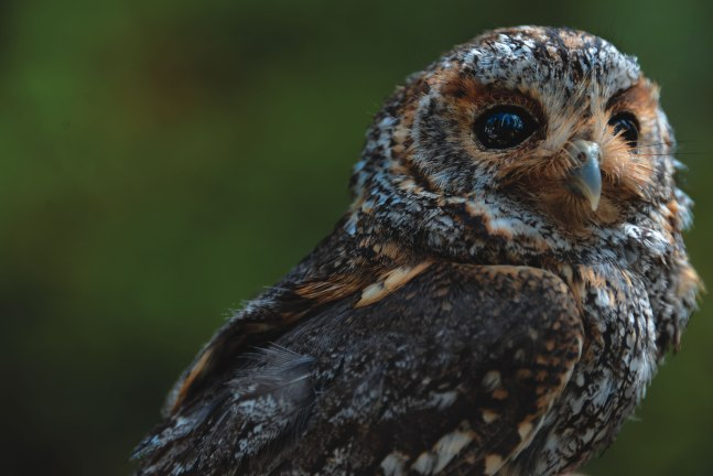 An adult female flammulated owl.