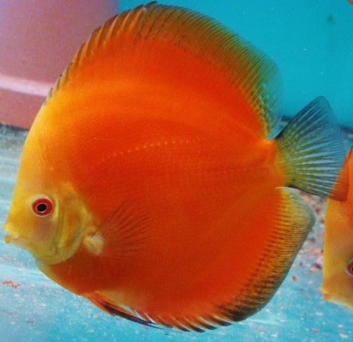 Discus Fish Sales   Super Red Melons For Sale 3 Inches