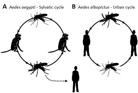 Chikungunya cycles