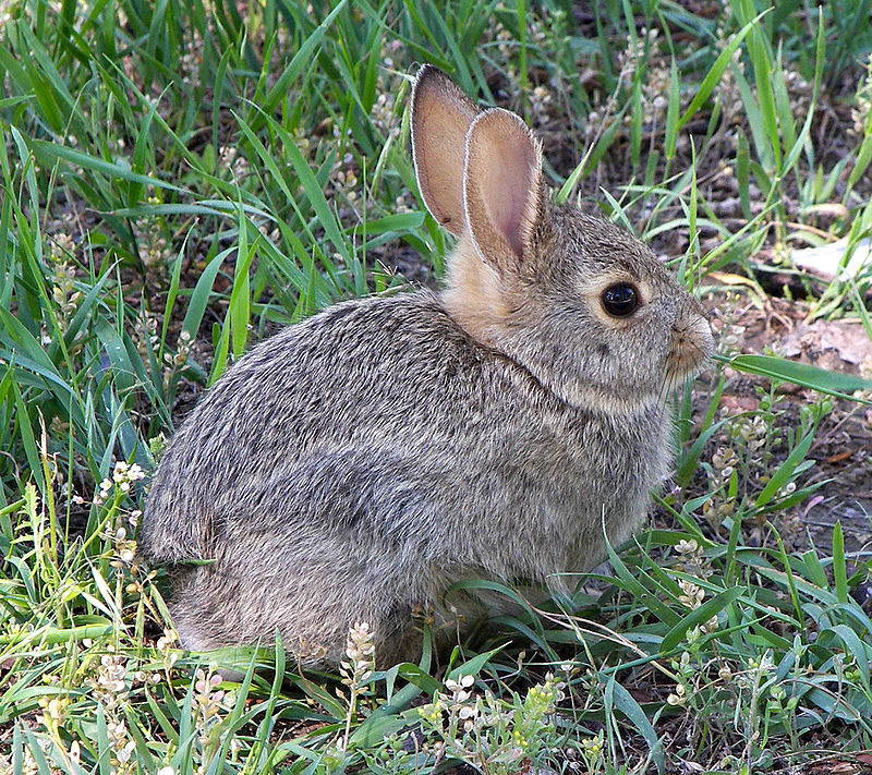 "The myxoma virus is only deadly for rabbits. ""Rabbit in montana"" by Larry D. Moore. Licensed under CC BY-SA 3.0 via Wikimedia Commons."