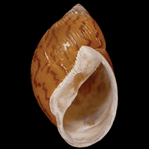 Figure 1: New snail species- Plekocheilus cecepeus. These specimens were collected in 1869, but only recognized as a new species in 2015 after careful observation in the muesum. Image credit: Dr. Abraham Breure and Dr. Rafael Araujo (3).
