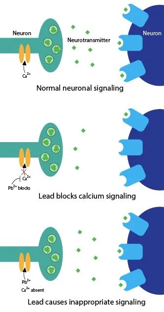 Figure 1: Lead alters neurotransmitter release. When calcium (Ca2+) enters a neuron, the neuron releases neurotransmitter (green diamonds) to send a signal to the next neuron. Lead (Pb2+) can interfere with this process in two ways. When lead blocks calcium entry into the neuron, the neuron releases less neurotransmitter and sends a weaker signal to the next neuron. Lead can also cause aberrant neurotransmitter release when calcium is not present.