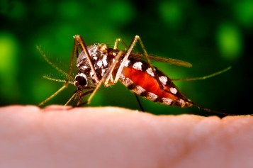 16258-a-mosquito-feeding-on-a-human-finger-or