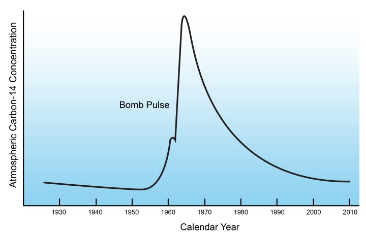 "Figure 2: Atmospheric 14C concentration over time in the 20th century. The rise in 14C concentration in the early 1960s due to nuclear bomb testing is termed the ""bomb Pulse"". After banning the above ground testing of nuclear bombs, 14C levels have been declining and are expected to eventually return to baseline levels."