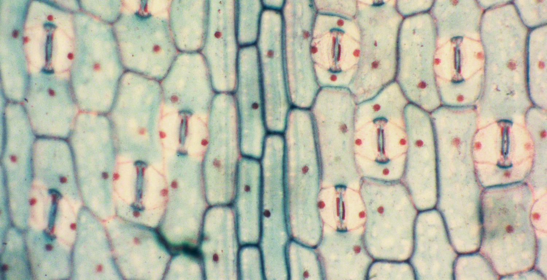 monocot leaf epidermis