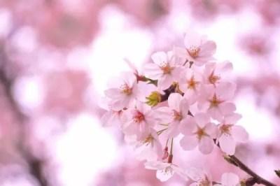 松江城山公園の桜(桜祭り)2016の開花状況と見頃時期!