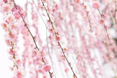名古屋市農業センターしだれ梅まつり2016の見頃や開花状況は?