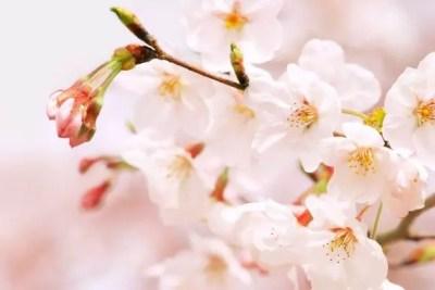 一心行の大桜2016の開花予想や見頃とライトアップ情報!