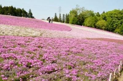 秩父羊山公園の芝桜2016の開花状況と見頃時期!