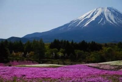 富士芝桜まつり2016の見頃や開花状況と駐車場は?