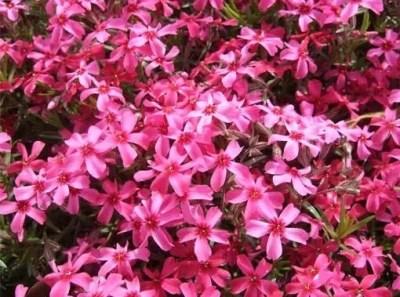夢前町ヤマサ蒲鉾の芝桜2016の開花情報や見頃!
