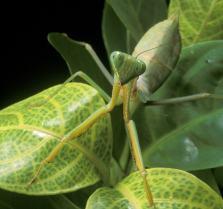 Bugs praying mantis on a leaf