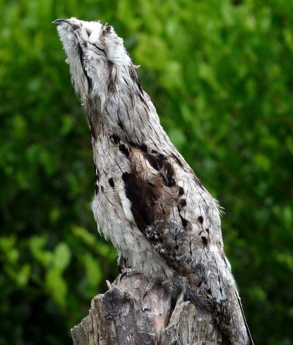 Common Potoo Bird